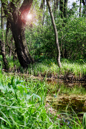 swamp.jpg (27719 bytes)